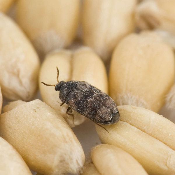 A stored pest in grain