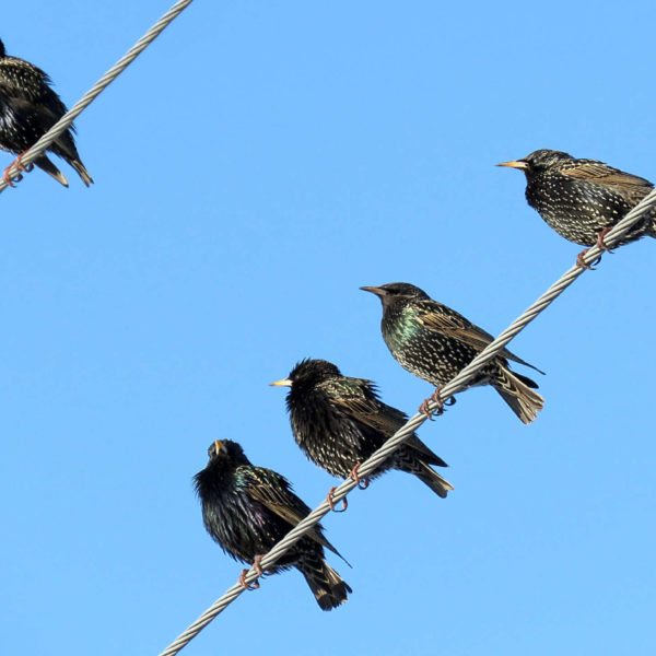 Starlings, a common nuisance bird